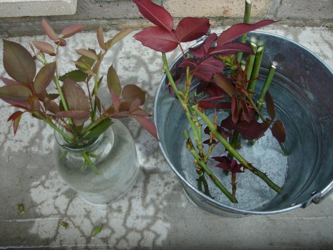 さぁ!挿し木に適した季節の到来、薔薇の挿し木に挑戦しましょう。のサムネイル画像