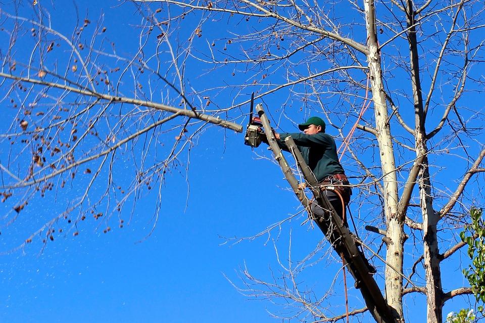 シンボルツリーでも人気の『シマトネリコ』正しい剪定方法は?のサムネイル画像