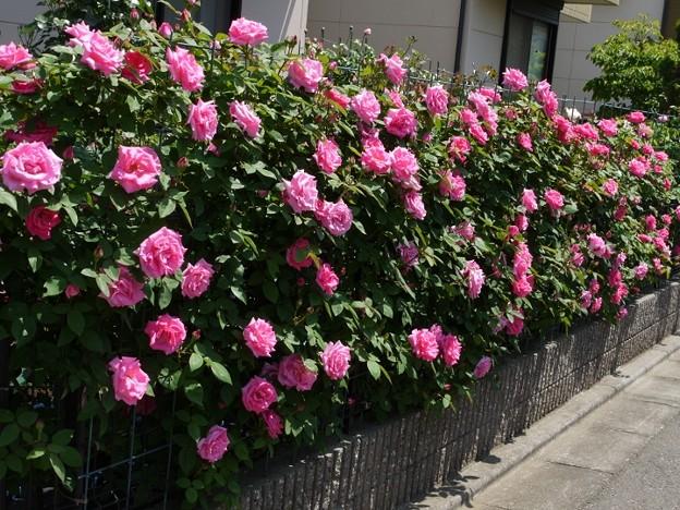 ガーデニングで美しい!そして防犯にもなる一石二鳥のバラのフェンスのサムネイル画像