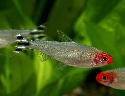 アクアリウム初心者におすすめの熱帯魚6選!飼いやすい熱帯魚は?のサムネイル画像
