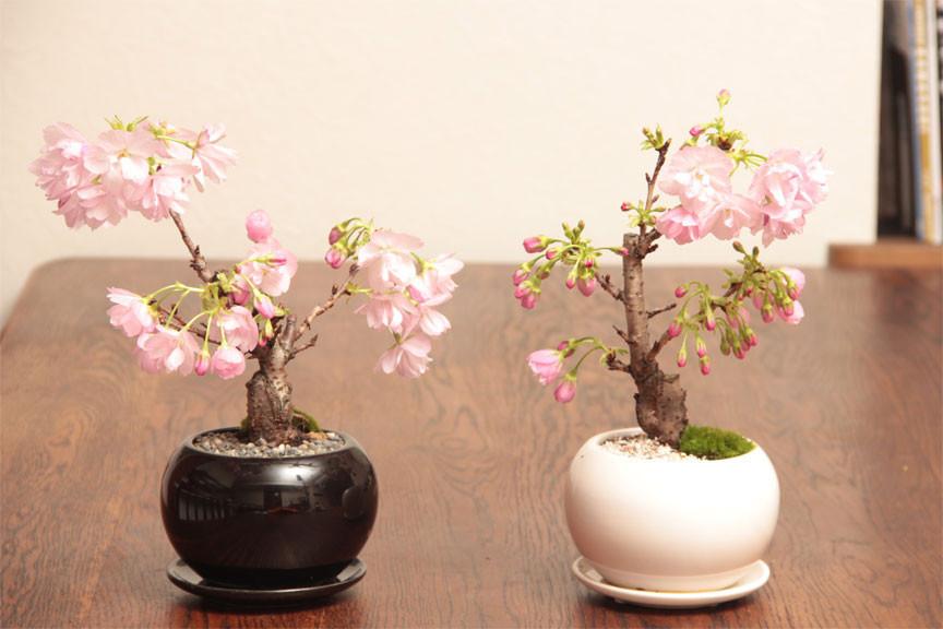 【園芸】桜は挿し木で増やせる!自宅で桜を楽しむ方法!【挿し木】のサムネイル画像